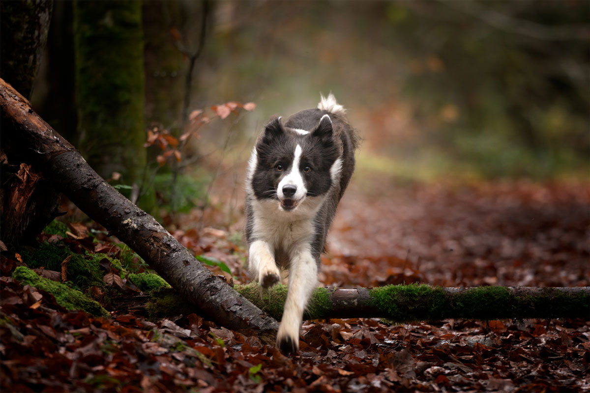 border-collie-actiondog