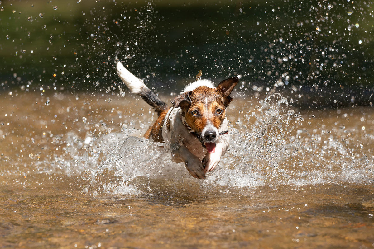 jack-russell-actiondog